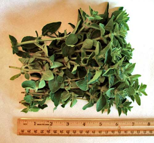 Fresh Oregano For Sale Picked, Packed & Shipped the Same Day!