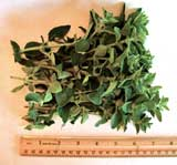 Fresh Picked Oregano For Sale