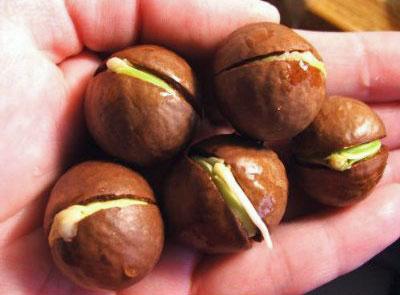 Macadamia Pähkinä